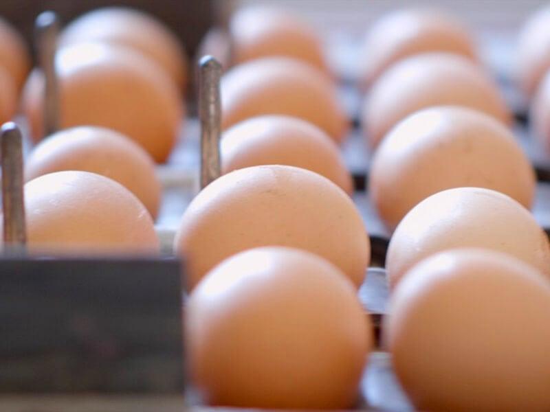 Allevamento galline per uova, pastificio Santoni